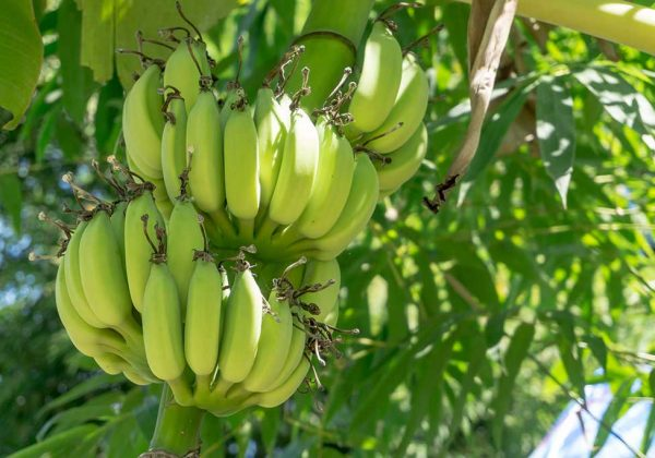 פסטיבל הבננה ה-4 | 17-19.1.19